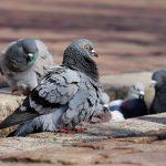 ¿Qué significa soñar con palomas?